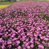 大量提供荷兰菊,提供福禄考,景天等宿根花卉,量大从优。