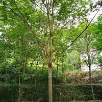陕西汉中大量供应七叶树