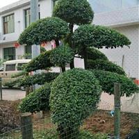造型小叶女贞基地 独特造型女贞  长沙高端造型树
