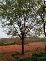 榉树10-18公分行情报价\榉树10-18公分图片展示