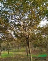紅櫸樹2供應/紅櫸樹2圖片