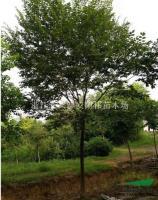 櫸樹報價/浙江櫸樹報價
