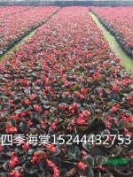 山东红叶四季海棠最新报价/红叶四季海棠图片