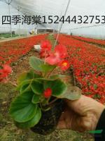 四季海棠图片\四季海棠报价