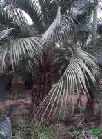福建布迪椰子