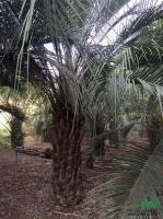 福建布迪椰子2