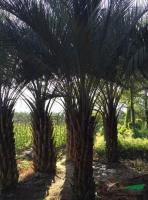 布迪椰子3供应/布迪椰子3图片