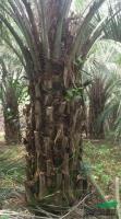 布迪椰子4供应/布迪椰子4图片