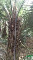 布迪椰子5图片\布迪椰子5报价