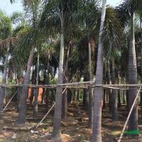 福建狐尾椰子2信息