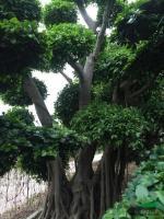福建榕树桩景7