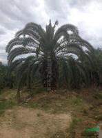 福建加拿利海枣3,杆高3米,价格28000元