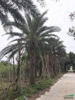 福建中东海枣5米杆高2,价格1500元