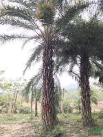 福建中东海枣5米杆高4,价格1500元信息