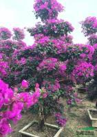福建紫色三角梅桩景2,高度2.5米.冠1.5米,头径10公分,价格700元介绍