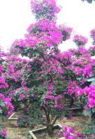 紫色三角梅桩景1,高度2.5米.冠1.5米,头径10公分,价格700元报价/福建紫色三角梅桩景1,高度2.5米.冠1.5米,头径10公分,价格700元报价
