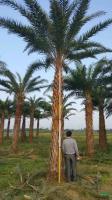 中东海枣(银海枣)4米杆高2,价格1200元供应/中东海枣(银海枣)4米杆高2,价格1200元图片