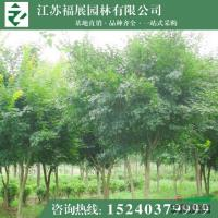 鸡爪槭报价 批发优质绿化小苗 绿化工程鸡爪槭供应