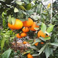 高糖晚熟柑橘新品甘平橘子苗,浙江优良桔子树苗批发