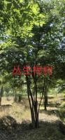 浙江长兴泗安大量供应乌桕,举树,香樟,朴树,无患子等等苗木