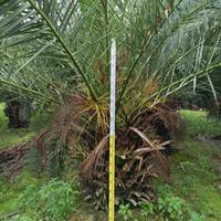 福建加拿利海枣杆高1米,价格1300基地直销