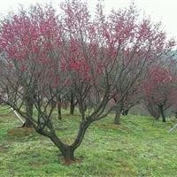 红梅报价:冠径1-3米红梅价格、河南红梅售价、潢川红梅花树