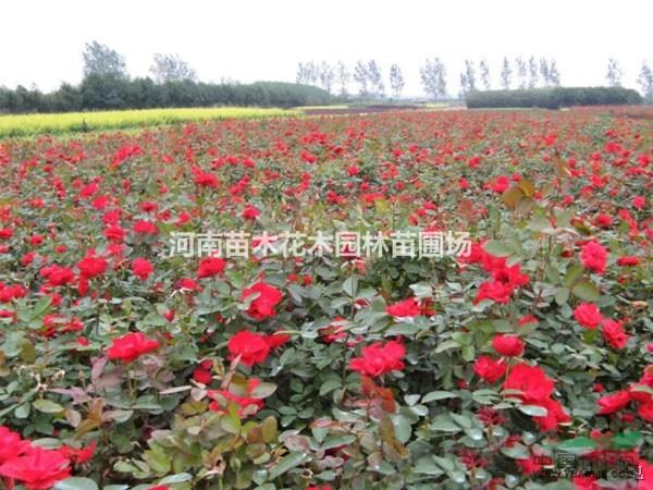 丰花月季报价:藤本月季价格、红帽月季、树型月季、品种月季花