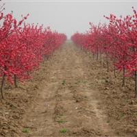红叶碧桃售价:胸径6-15公分红叶桃价格、寿星桃报价、山桃树