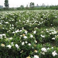 小叶栀子花报价:冠径1-2米大叶栀子花价格、河南栀子花球