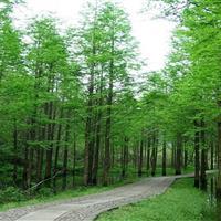水杉售价胸径6-25公分水杉价格、落羽杉红豆杉、云杉池杉柳杉