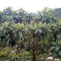 枇杷售价:胸径6-15公分枇杷价格、榉树棕榈、黑松苦楝、丹桂