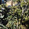 杜鹃盆景桩