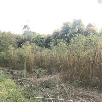 成都郫县温江崇州长期低价供应琴丝竹等乔灌木