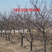 丛生杏树·丛生杏树图片·丛生杏树产地价格·供应山西丛生杏树