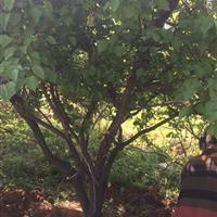 粗度20公分杏树图片·粗度20公分杏树产地·供应山西运城杏树