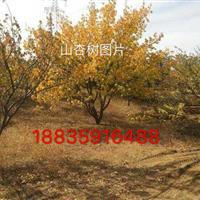山西运城直径20公分杏树·25公分杏树·30公分大杏树供应