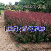 红叶小檗价格H30-35-40公分高红叶小檗色带苗批发价供应