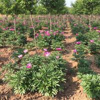 红花紫薇苗木出售,紫薇5-8公分紫薇林下芍药出售