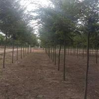 供应榉树 红榉 榉树基地