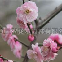 梅花树_红叶美人梅
