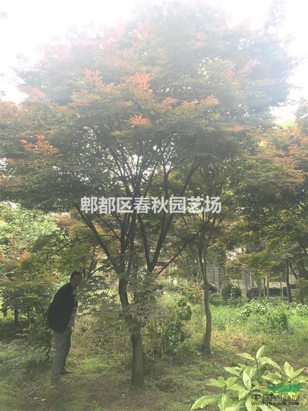 红枫15公分