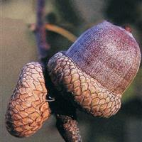 北美红栎与柳栎之间的共同点与不同点