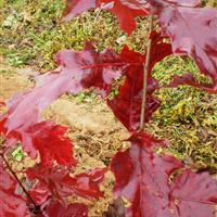 欧洲红栎、沼生栎、火焰红栎之间的区别与共同点