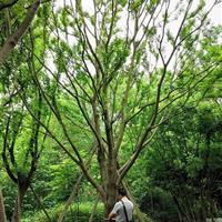 四川成都地区快乐赛车开奖20-40公分朴树,黄连木