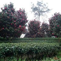供应1-15公分茶花 如图所示 四川货源