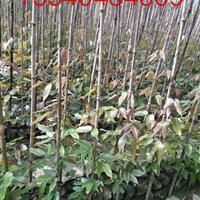 油麻藤种植基地,油麻藤最新价格,油麻藤产地
