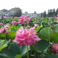 杭州萧山新街传武苗圃基地直销各种优质品种荷花和各种品种睡莲。