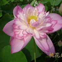 安徽蚌埠传武苗圃基地直销各种优质睡莲,和各种优质荷花。