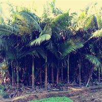 广西供应15-20公分高4-5米假槟榔