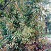 椤木石楠工程用树